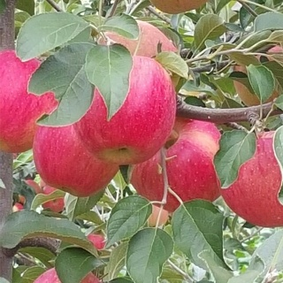 진미락 에덴농장 청송사과5kg 23과  무료배송  진미락 청송 꿀사과 5 10kg